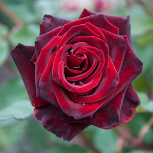 Rose Black Beauty