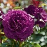 Rose Ebb Tide (pbr)