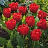 Tulip Largo 13