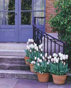 Tulip White Pots In Doorway 300 - Garden Express Australia
