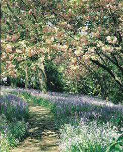 Bluebell Under Cherry Trees 300 - Garden Express Australia