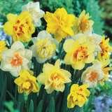 Daffodil Dble Mixed 13 - Garden Express Australia