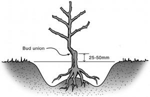 Planting-BR-Rose