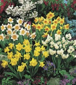 Daffodil-mixGG