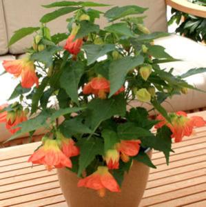 Abutilon Lucky Lantern Tangerine 14 - Garden Express Australia