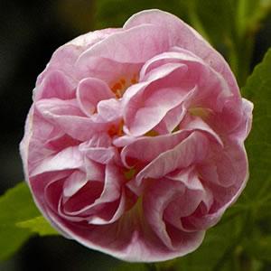 Abutilon Pink Swirls