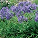 Agapanthus_Blue_14119354PA_15_