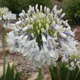 AGAPANTHUS CLOUDY DAYS (PBR)