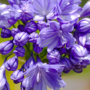 AGAPANTHUS DOUBLE DELIGHT (BLUE)
