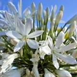 Agapanthus_Silver_Baby_14