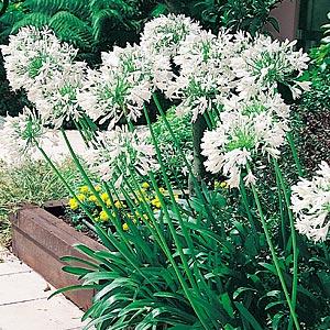 Agapanthus White Lrg - Garden Express Australia