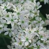 Allium_Bridal_Mist_13