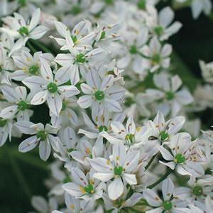 Allium Bridal Mist 13 - Garden Express Australia