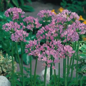 Allium Pink 13