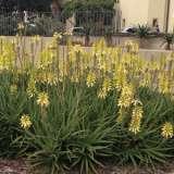 Aloe-Bush-Baby-Yellow16