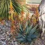 Aloe Spots N Dots Tm