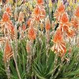 Aloe Gemini (pbr)