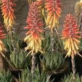 Aloe Mountain Gem Tm