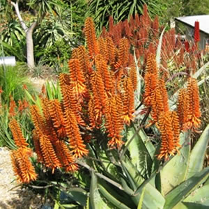 Aloe Outback Orange Tm