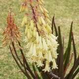Aloe Winter Bells13a1 - Garden Express Australia