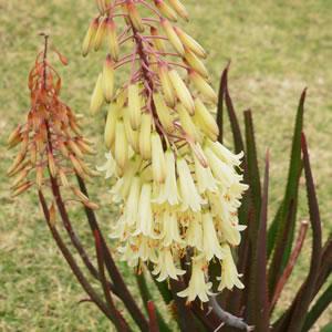Aloe Winter Bells (pbr) (tm)