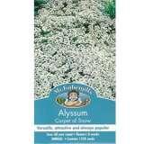 Alyssum_Carpet_of_Snow_14