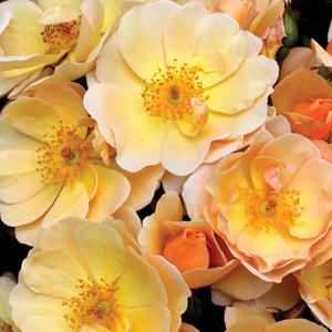Rose Amber Sun