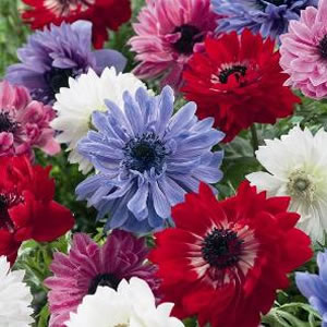 Anemone Double Mixed 12