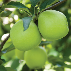 Dwarf Apple Granny Smith