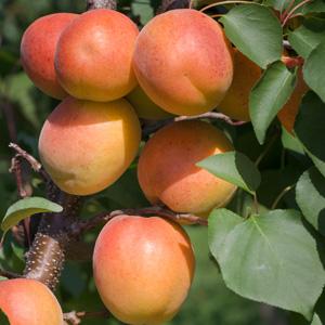 Apricot Fireball St 56508526 15