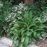 Arthropodium Cirratum - Garden Express Australia