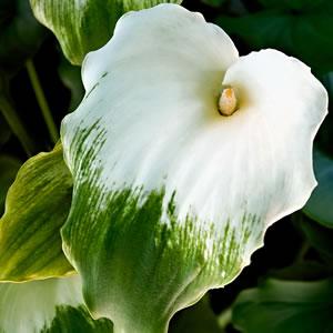 Arum Green Goddess - Garden Express Australia