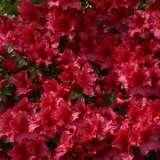 Azalea Red Wings