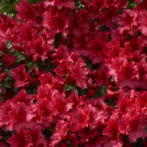 Azalea Red Wings Garden Express