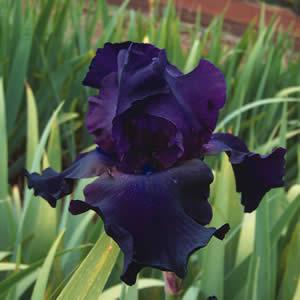 B Iris Superstition - Garden Express Australia