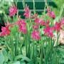 Baby Gladioli Rosea
