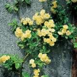 Banksia-Rose-Yellow-LPOBROYEL-17