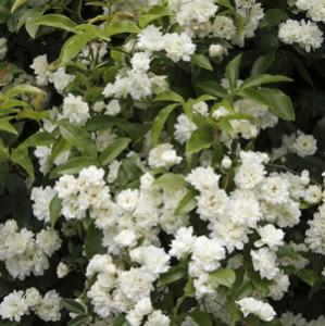 Banksia Rose White 14 - Garden Express Australia