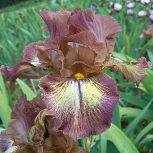 Bearded Iris Kerries Kirtle 2 - Garden Express Australia