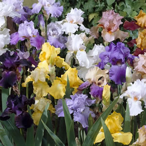 Bearded Iris Mixed 131