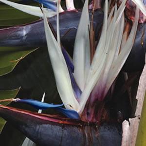 Bird of paradise white garden express bird of paradise white mightylinksfo