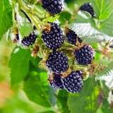 Blackberry 16