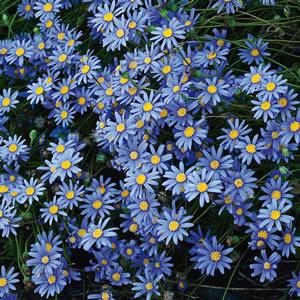 Blue Marguerite 2014 01 - Garden Express Australia