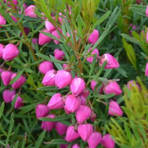 Boronia Heteropylla Pink
