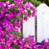 BOUGAINVILLEA PURPLE 140mm