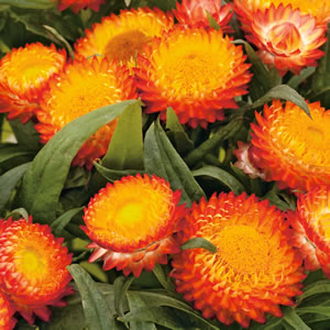 Bracteantha Mohave Fire