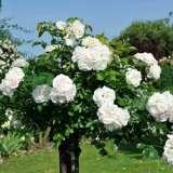 Standard Rose Brindabella Bouquet (pbr)