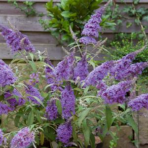 Buddleja Purple Haze Garden Express