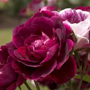 Rose Burgundy Iceberg Pbr Garden Express
