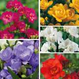 Freesia Double Collection